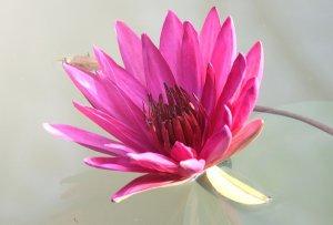 Na zdjęciu różowy kwiat flora na szarym tle.