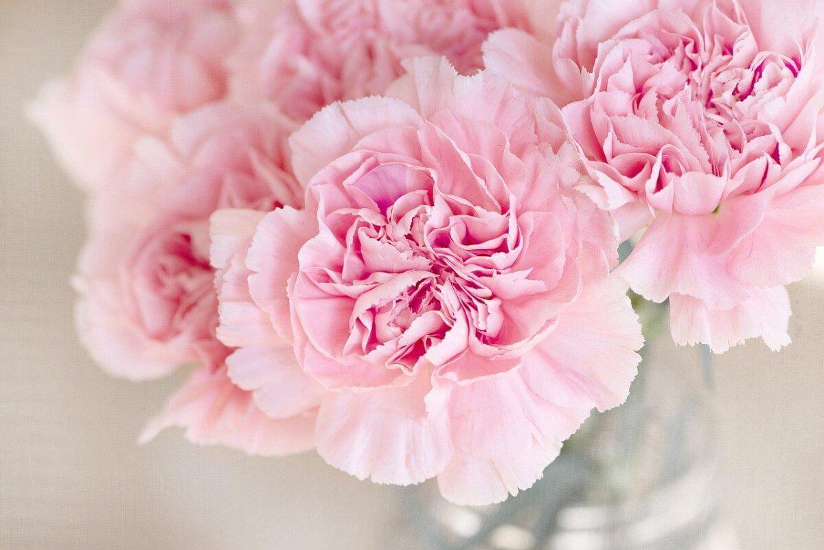 Różowe goździki na białym tle